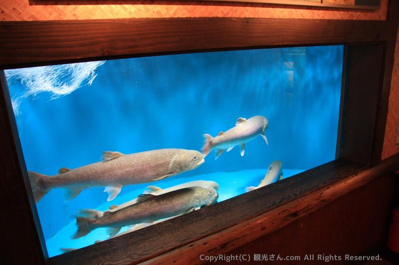 日本最大の淡水魚「イトウ」