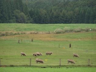 羊の放牧2