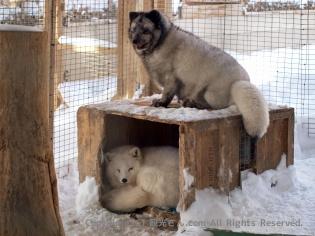 北極キツネと青キツネ