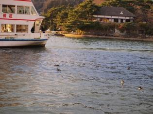 松島湾に浮かぶ鳥?