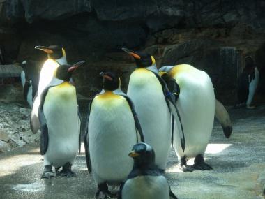 キングペンギンたち