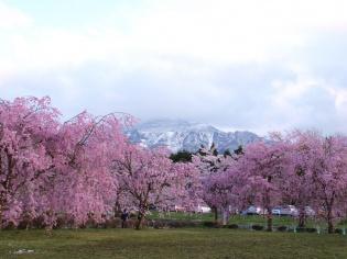 桜と武甲山