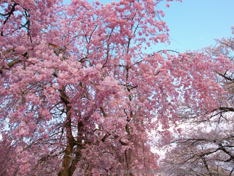 桜の名所です