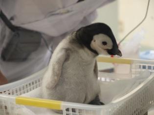 エンペラー(コウテイ)ペンギンの赤ちゃん
